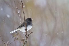 junco in aspen (G_Anderson) Tags: missouri yard birds birding backyard winter urban snow