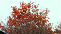 Red Oak (Quercus rubra) (MaxUndFriedel) Tags: tree leaves autumn fall november color red nature sky oak quercusrubra