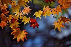 sapporo 662 (kaifudo) Tags: 北海道 札幌 北海道知事公館 紅葉 秋 sapporo hokkaido japan autumn autumnleaves nikon d810 sigma natureinfocusgroup kaifudo 150mm macro150mmf28