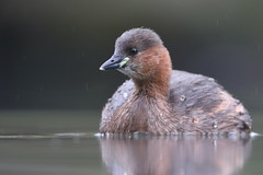 Little grebe (Mike Mckenzie8) Tags: tachybaptus ruficollis wild wildlife uk bird lake water winter