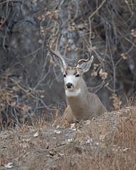 Mule Deer-14 (trdunn) Tags: muledeer colorado weldcounty wildlife animal easternplains nature buck atypical fall antlers