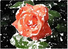 Brich entzwei des Schlafes Bande (amras_de) Tags: rose rosen ruža rosa ruže rozo roos arrosa ruusut rós rózsa rože rozes rozen roser róza trandafir vrtnica rossläktet gül blüte blume flor cvijet kvet blomst flower floro õis lore kukka fleur bláth virág blóm fiore flos žiedas zieds bloem blome kwiat floare ciuri flouer cvet blomma çiçek zeichnung dibuix kresba tegning drawing desegnajo dibujo piirustus dessin crtež rajz teikning disegno adumbratio zimejums tekening tegnekunst rysunek desenho desen risba teckning çizim