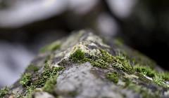 Moss, etc., on rock 3441 ((8_8)) Tags: bokeh bokehphotography minoltarokkor sonya7ii dof closeup nature plants moss massachusetts natureinfocusgroup