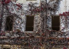 Dead Ivy on the Hospital (dcnelson1898) Tags: angelislandstatepark angelisland tiburon sanfranciscobay california northerncalifornia statepark outdoors america usa unitedstates fortmcdowell hospital ivy