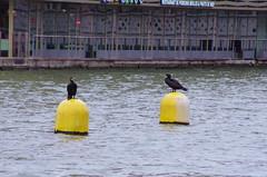 47 Paris décembre 2018 - des cormorans sur le Bassin de La Villette (paspog) Tags: paris france bassindelavillette décembre december dezember 2018 cormorans