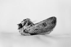 moth Minolta X700 50mm Macro lens (shakmati) Tags: minolta bw monochrome film x700 macro micro black white negro shiro blanc blanco nero rokkor 50mm noir moth bug insect