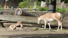 Persian Onager and Foal (FitchDnld) Tags: clevelandmetropakszoooctober222018 persian onager persianonager animal mammal cleveland clevelandohio clevelandmetroparkszoo clevelandzoo clevelandmetroparks metroparks zoo ohio ohiozoo foal baby