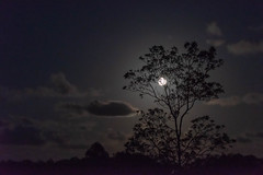 Moon and Frangipani (armct) Tags: hymenosporumflavum moon silhouette moonrise fullmoon frangipani native indigenous hinterland goldcoast queensland skyline horizon