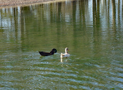Ducks. (dccradio) Tags: lumberton nc northcarolina robesoncounty park citypark lutherbrittpark outdoor outdoors outside pond water bodyofwater lake reflect reflection waterreflection pair duo two duck ducks waterfowl fowl bird birds waterbirds tree trees ripples waves january winter saturday goodafternoon afternoon saturdayafternoon quack