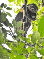 The Bear Cuscus (benyeuda) Tags: sulawesi indonesia tangkoko tangkokonaturereserve naturereserve ailuropsursinus bearcuscus mammal mammalwatching cuscus sulawesibearcuscus wildlife coolanimal wildanimal endemic interestinganimal rareanimal rarewildlife