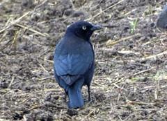 Dec13,2018 DSC01561 Brewer's Blackbird (terrygray) Tags: blackbirds cowbird