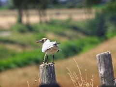 Bird Bokeh - Fehmarn - Schleswig-Holstein - Germany (torstenbehrens) Tags: bird bokeh fehmarn schleswigholstein germany