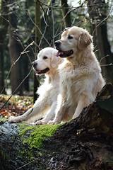 Jasper and Mike  two best friends (dirk.mateboer) Tags: dogs honden golden goldens retriever retrievers wood forest bos nature natuur nederland netherlands holland dieren animals