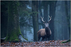 Face à face (philippeprovost1) Tags: cerf stag autumn