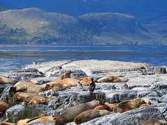 Sea lions, Beagle Channel, Tierra del Fuego, Patagonia, Argentina (fam_nordstrom) Tags: beaglechannel tierradelfuego patagonia argentina patagonien eldslandet beaglekanalen kanal channel canal canalbeagle water vatten agua archipelago archipielago archipiélago skärgård natur nature naturaleza