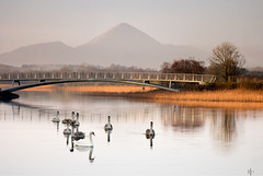 Morning paddle (mickreynolds) Tags: 2018 christmas nx500 swans signets loughlannagh castlebar reeds croaghpatrick winter