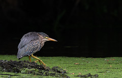 Green Heron (kpgoldman.nature) Tags: 2018 crystalsprings portland greenheron kengoldmanphotography may lightroom pond