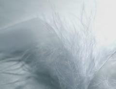 #WhiteOnWhite HMM (7 Blue Nights) Tags: abstract closeup white whiteonwhite shadesofwhite light delicate soft macromondays macromonday 7bluenights feather diagonals sony carlzeiss rx10 macro harmonyblue