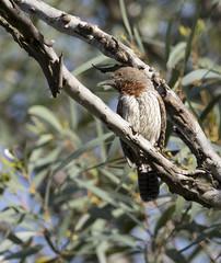 Rufous-necked Wryneck (Jynx ruficollis)-6778 (Dave Krueper) Tags: africa aves bird birds landbird picidae piciformes rnwr southafrica woodpecker wryneck