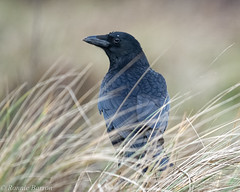 crow with unusual eyebrow (RCB4J) Tags: art ayrshire ayrshirecoast irvinebeach photography rcb4j ronniebarron scotland sigma150500mmf563dgoshsm sonyilca77m2 corvuscorone carrioncrow crow corvid corvidae dxo naturethroughthelens