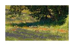 Ein Sommertraum - Provence - II (Babaou) Tags: frankreich france provencealpescôtedazur paca provence alpesdehauteprovence valensole lavendel mohn coquelicot lavande lalonde2018 dxopl