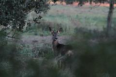 chevreuil Capreolus capreolus Roe deer (Puce d'eau) Tags: chevreuil capreolus roe deer mamale mammifère cervidés nature sauvage wildlife canon eos 7d 150600 tamron france aude animalier