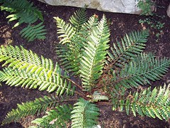 Mother Shield Fern (Polystichum proliferum) (Poytr) Tags: shieldfern polystichum fern royalbotanicgardenssydney rbgsrfp rbgs dryopteridaceae polystichumproliferum arfp nswrfp qrfp arffern vrfp trfp plant garden rbgsarfp