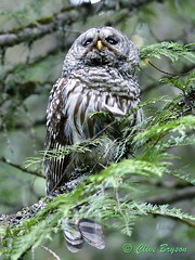 Barred owl (clive_bryson) Tags: barredowl shuswap britishcolumbia canada lookingup
