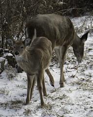 Winter2018-19_SAF0492 (sara97) Tags: copyright©2019saraannefinke missouri photobysaraannefinke saintlouis snowdeermammalherbivore winter winter201819