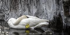 Trumpeter Swan 2019 (John Hoadley) Tags: trumpeterswan lasallemarina burlington ontario 2019 january canon 7dmarkii 100400ii f8 iso500 swan bird