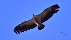 avvoltoio in VOLO (Tonpiga) Tags: tonpiga uccelliinlibertà faunaselvatica avvoltoio gipsfulvus grifonesardo grifone