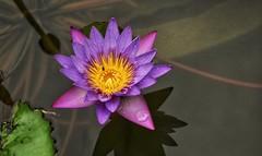Lotus flower (Praveen Banneka) Tags: lotus srilanka asia culture southasia waterdrops creative pond shadows