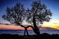 La Tamerice del Fattori-The Tamerice of Fattori (Eugenio GV Costa) Tags: tamerice albero alberi livorno fattori quadro tramonto mare cielo tamarisk tree trees picture sunset sea sky
