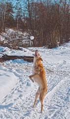 Snowball Fetch (Alexis Kaylen) Tags: dog jumping leaping teeth catch snow bite werewolf stance