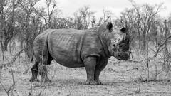 an angry Rhino - Kruger, South Africa (Andre Yabiku) Tags: kruger southafrica africa andreyabiku yabiku rhino rhinoceros wildlifephotography wildlife safari bw blackandwhite savana