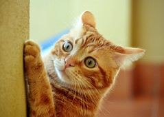Spritz (En memoria de Zarpazos, mi valiente y mimoso tigre) Tags: kitten kitty orangekitten orangetabby cat ginger chatroux gato gatitonaranja spritzeddu spritz littledoglaughedstories