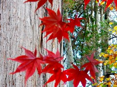 Red Japanese Maple Leaves (Stanley Zimny (Thank You for 33 Million views)) Tags: red japanese maple leaves fall autumn 4 four seasons acer
