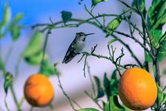 Anna's Hummingbird (Carl Cohen_Pics) Tags: annashummingbird hummingbird bird aves avian aviary calypteanna animal animalphotography nature naturephotography oiseau vogel sigma sigmaapo150500mmf563apodgoshsm canon canon7dmarkii chandler maricopa arizona winter orange orangetree fauna