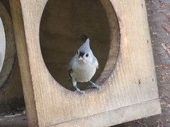 Tufted Titmouse 3 (D. S. Hałas) Tags: halas hałas canada ontario haltonregion wentworthcounty burlington lasallepark chordata sarcopterygii aves passeriformes paridae baeolophusbicolor tuftedtitmouse titmouse bird