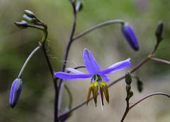 Unknown beauty (Kat-i) Tags: australien mountgambier southaustralia au blume flower macro makro bllüte blossom blau blue australia nikon1v1 kati katharina