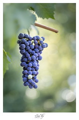 Passion vineyard (the world of collembola) Tags: canon eos 6d ef100mm f28l macro is usm