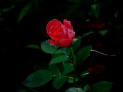 Розочка (lvv1937) Tags: сад роза лето exploré мыизяфа flickrпорусскибезограничений3060 goal