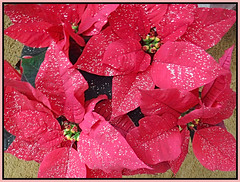 Christmas Poinsettia (bigbrowneyez) Tags: flowers fiori poinsettia pretty lovely belli colourful delightful festive holidays sparles shiny red blossoms petals beautiful elegant tropical nature natura gorgeous fantastic striking stunning christmaspoinsettia cornice natale navidad feliznavidad frame buonnatale