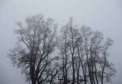 Morning Fog (AJM NWPJ) (AJM STUDIOS) Tags: fog morningfog thickfog everett washington trees treefog treesinfog fogtrees northwestwinter northwestfog pacificnorthwestwinter pacificnorthwestfall autumnfog winterfog wa snohomishcounty