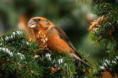 Crossbill male (Timo Airaksinen) Tags: crossbill birds birdphotos nature naturephotography finland suomi helsinki käpylintu winter talvi