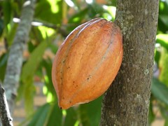 Cocoa Fruit where we get our addictive chocolates (PsJeremy - Lots to catch up after travelling...) Tags: cocoa fruit tropical exotic chocolate