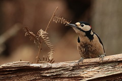 Greater Spotted Woodpecker at Denny Wood, New Forest (Art-G) Tags: woodpecker greaterspottedwoodpecker dennywood newforest lyndhurst hampshire uk canon eos7dmkii 100400lisusm bokeh sundaylights