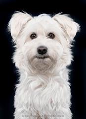 Kawai (Wieselblitz) Tags: dog dogs dogphotography dogphotographer dogportrait doginthestudio poodle maltesian westhighland terrier pet pets petphotography petportrait petphotographer muppetational cute cuteness cutedog studio studiodogportrait studioportrait