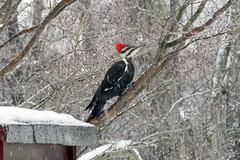 Dryocopus pileatus (pileated woodpecker) 2 (James St. John) Tags: dryocopus pileatus pileated woodpecker woodpeckers bird birds newark ohio picidae licking county