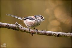 Long-Tailed Tit (Mike Woolley) Tags: bird longtailedtit nikon wildlife winter
